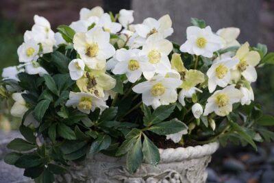 Helleborus niger Plante vivace fleurs blanches