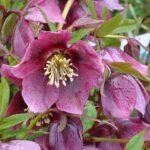 hellébore rose mauve hiver printemps